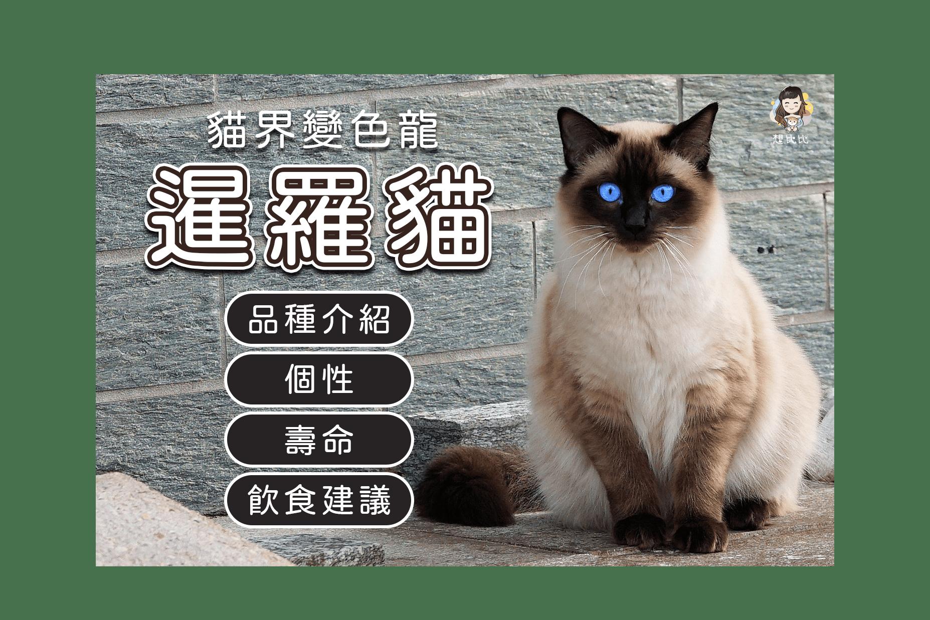 貓界變色龍暹羅貓