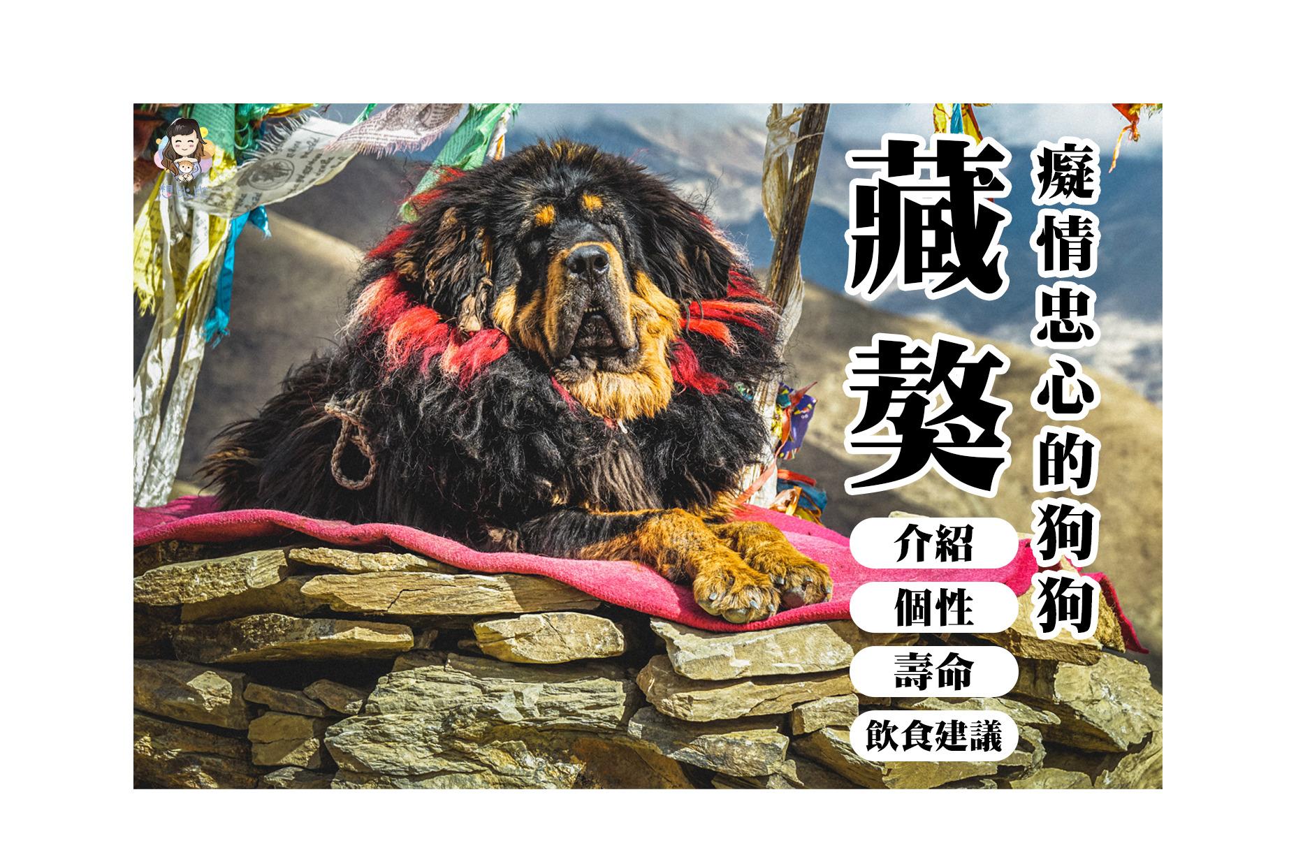 西藏獒犬秘密